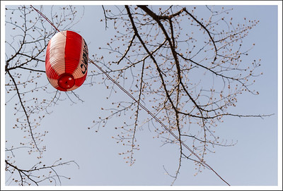 A lantern among the almost blooming buds.