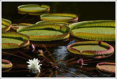 More of the water lily monsters on the way out of the garden.