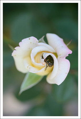 A beetle in a rose.  I waited for a bit to see if it would turn around, but had no luck.