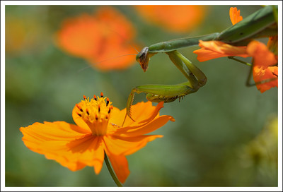 "A different mantis, waiting for his lunch.  He seems to be saying ""Land right here, little butterfly""."