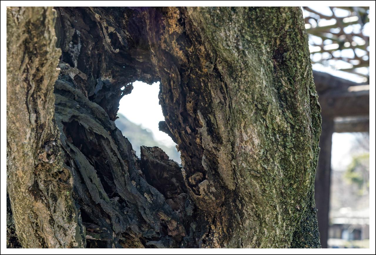 A close up of the wisteria vine.