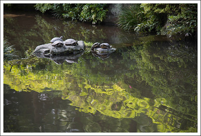 There were lots of turtles in this pond.