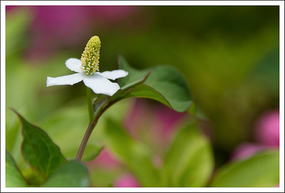 Dokudami blossoms were everywhere.  The leaves of this plant are used for a detox herbal tea.