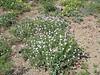 Drought-tolerant flowers