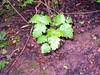 Poison oak grows just about anywhere below 5000' in California. Well, maybe not in Death Valley.