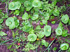 Miner's Lettuce (shown) and poison oak are pretty much it for the plants I know. Many thanks to Rich, for identifying the others in this album.