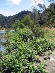 Blackberry bushes along the river bank