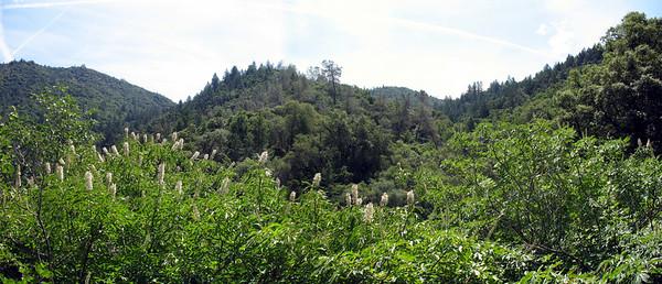 Blooming buckeye trees, nearby ridges.