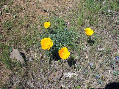 """California poppies. I didn't photograph very many flowers on this hike. There weren't too many large flowers out, i.e. paintbrushes, etc. There were a lot of small (.25""""-.3"""") round white and purple flowers. We also saw some lupines. Other hikers took more flower pictures ... see the links at the top."""