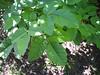 Poison oak.