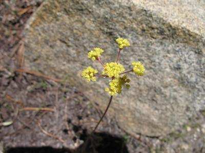 Yellow Buckwheat?
