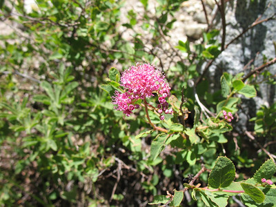 Mountain Spirea. Thanks to Larry for the plant ID!