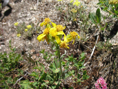 Groundsel Senecio. It is beginning to fade as the season dries out. Thanks to Larry for the plant ID!