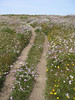 As you approach Tomales Point, the trail becomes much looser and sandier, and splits off into several use trails.