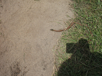Small snake. I told this snake to get moving, or it would be a snack for a bird. There were hawks, gulls, and crows swirling nearby.