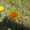 California Poppies.