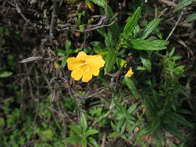 Sticky Bush Monkeyflower.
