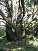 Grand old tree.