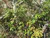 Berries, poison oak around a mossy tree.
