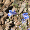 Foothill penstemon.