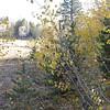 Aspen trees near Red Lake.