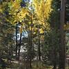 Aspen trees near Kirkwood.