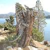 Tree stump near Caples Lake.