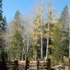 Aspen trees near Woods Lake.