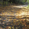 Golden fallen leaves.