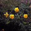Golden poppies.