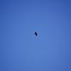 Raven overhead at Shot Rock Vista, off CA 88.