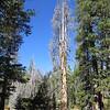 Tall dead tree.