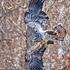 eagle in the woods_5765 fb