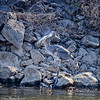 heron fish_5357 fb
