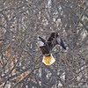 bald eagle adult 5060 fb