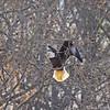 bald eagle adult 5060 fb