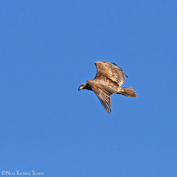 eagle flight 7_5784 fb