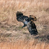 eagle in the grass_5709 fb