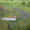 Lupine growing in an outflow area below a culvert.