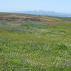 Field of lupine and other flowers, beckoning to the nearby Sutter Buttes.