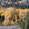Aspen trees in Hope Valley.