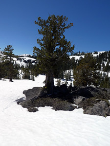 Beautiful, tough trees along the crest of the ridge.