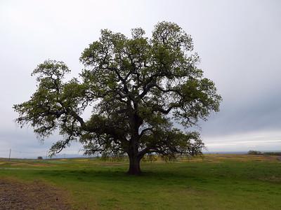 Beautiful oak tree near the trailhead.