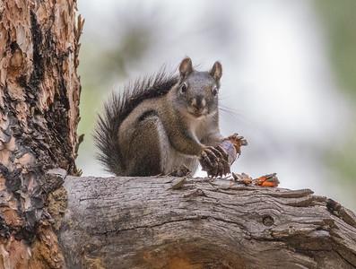 Kaibab Squirrel (Juvenile)