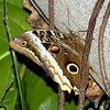 Owl butterfly from Central and South America.