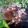 Silver tarantula.