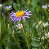 Cedar Breaks Wildflower Festival