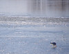 This seagull had something good to eat.  It carried the morsel across the ice, stopping occasionally to peck on it.