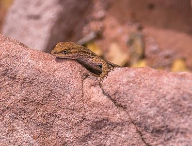 Kolob Canyons Lizard