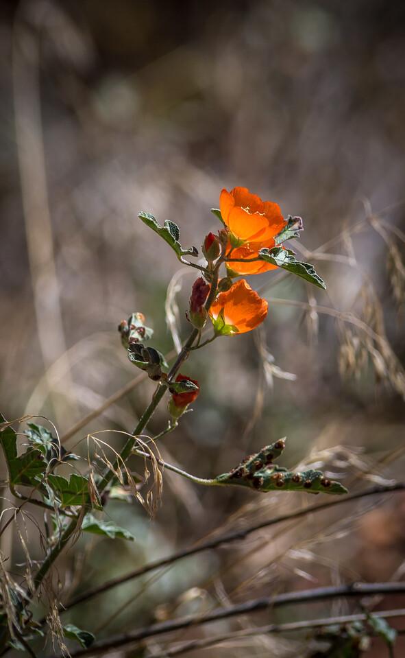 Kolob Canyons Flowers